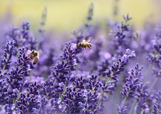 včely na levanduli.jpg