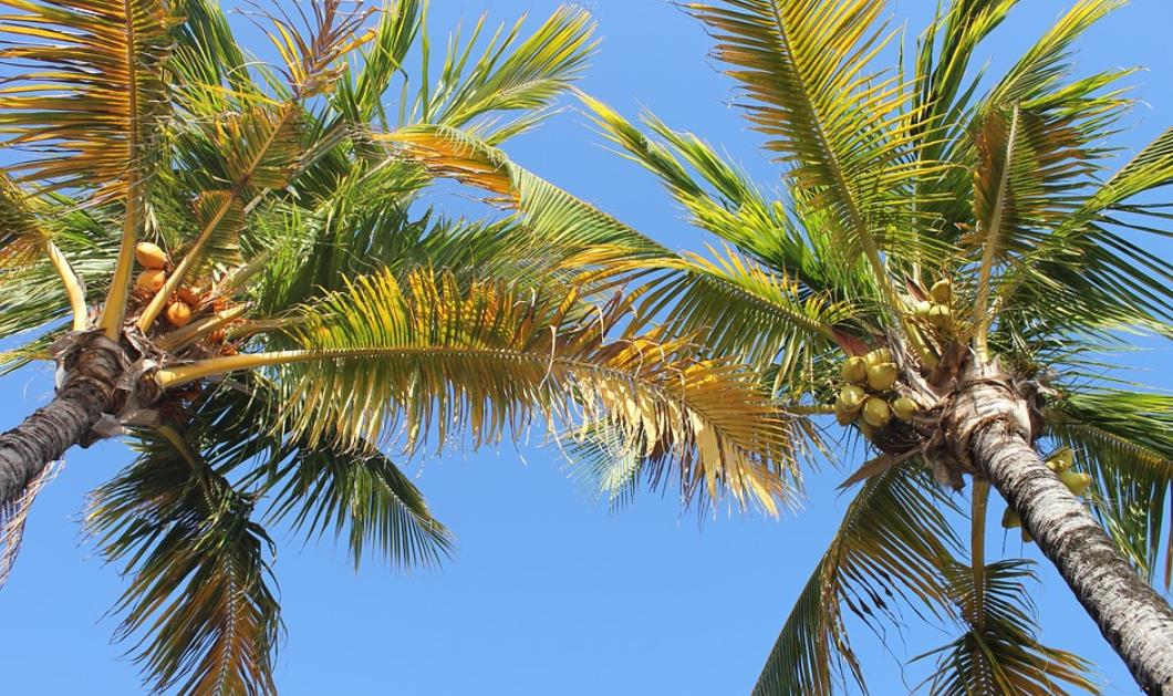 kokosy na palmách